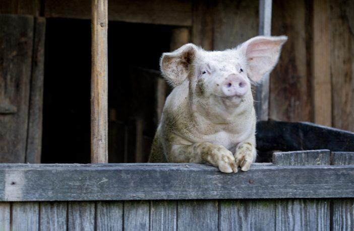 cochon noel en roumanie