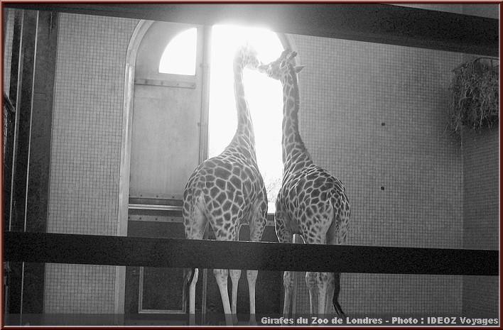 girafes zoo de londres