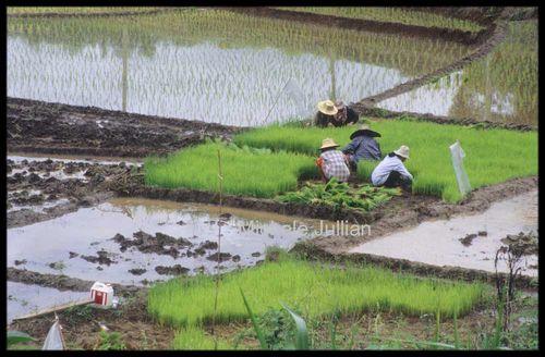 recolte du riz mousson