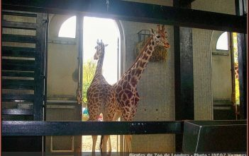 zoo londres girafes