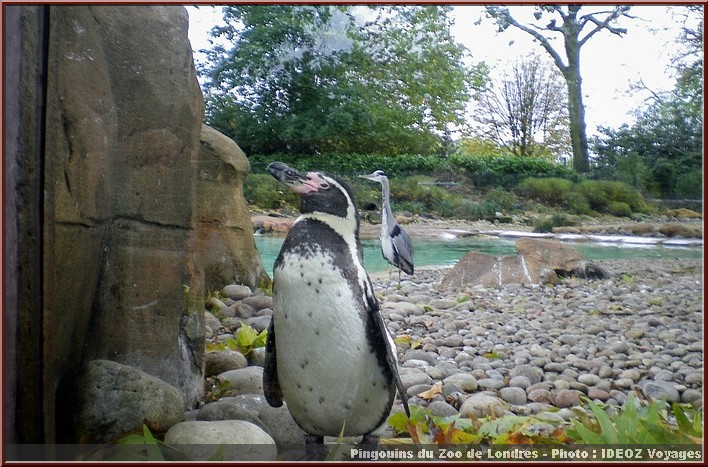 zoo londres pingouins
