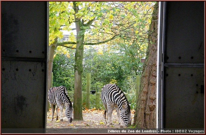 zoo londres zebres