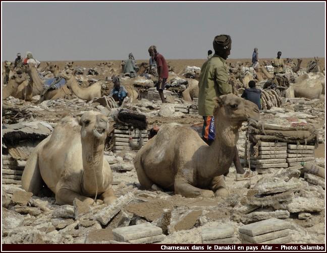 danakil chameaux extraction sel ethiopie