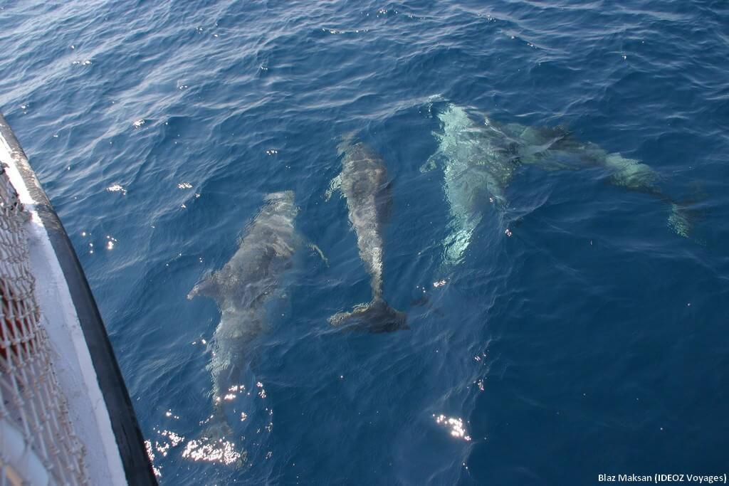 Balade avec les dauphins en Croatie près de Pakostane