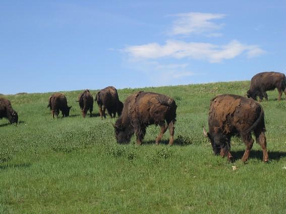 Bisons du Wind cave national park