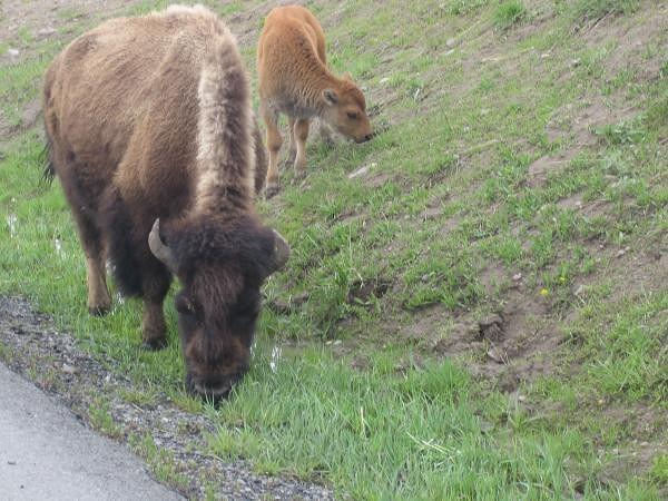 Bisons piste de Lake Butte