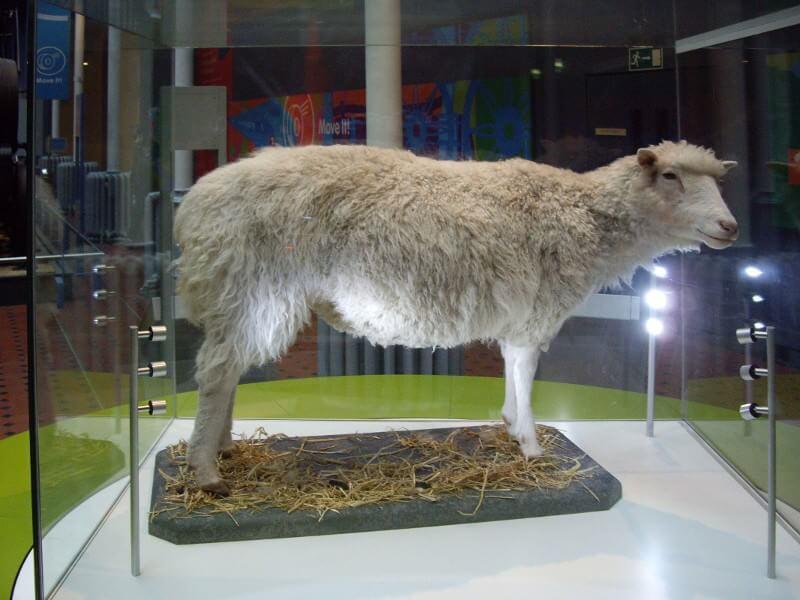 Brebis Dolly à Edimbourg en Ecosse