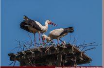 Cigognes à Cigoc Lonjsko Polje