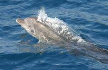 Découvrir les dauphins entre Pakostane et l'île de Vrgada