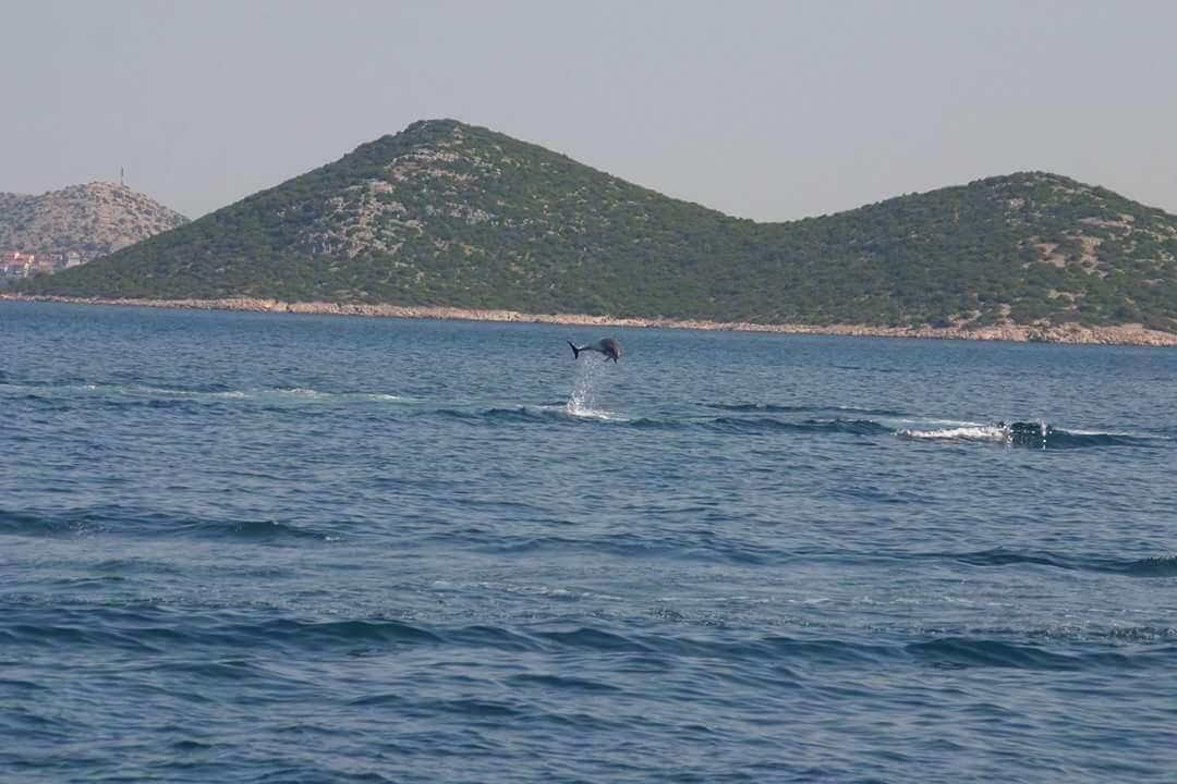 Dauphins de l'Adriatique entre Vrgada et Kornati