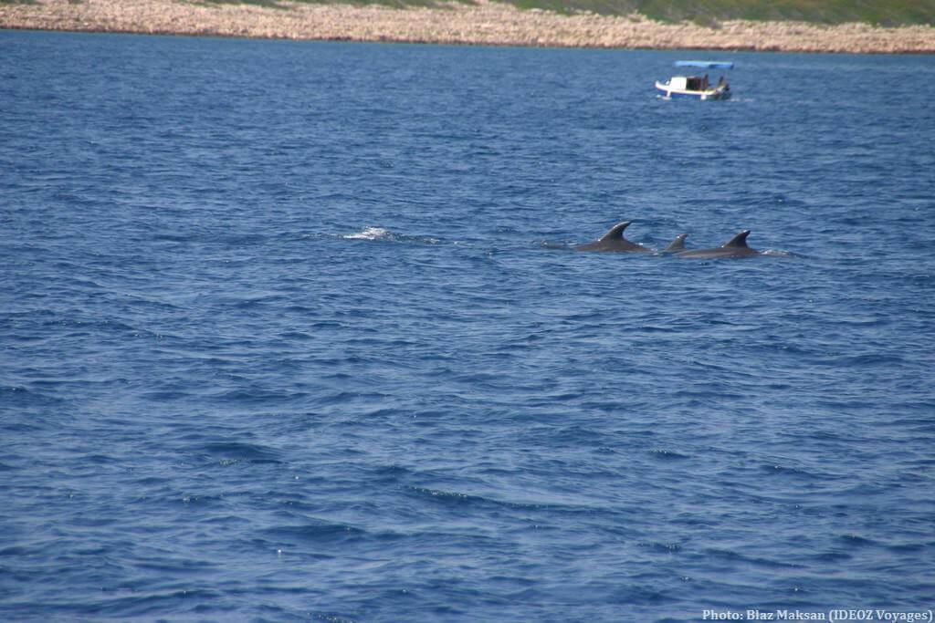 Dauphins en croatie dans la riviera de Zadar