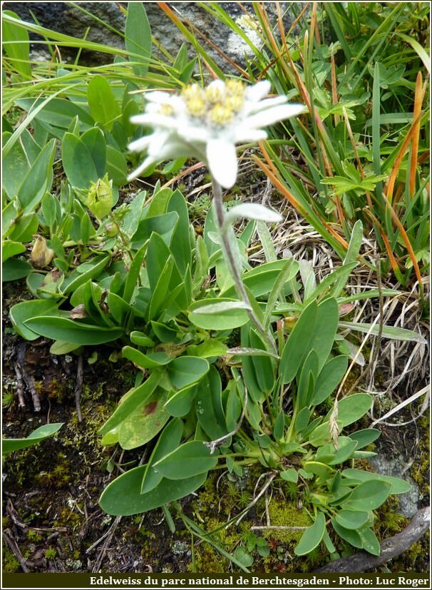 Edelweiss du parc national de Berchtesgaden