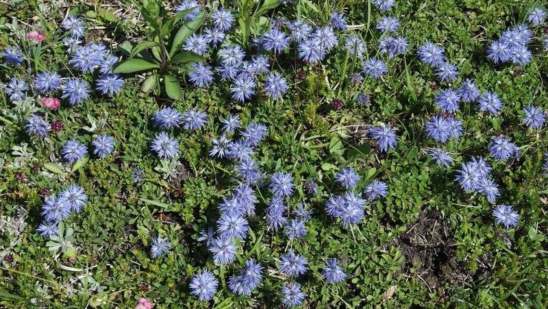 Fleurs des Alpes Globularia