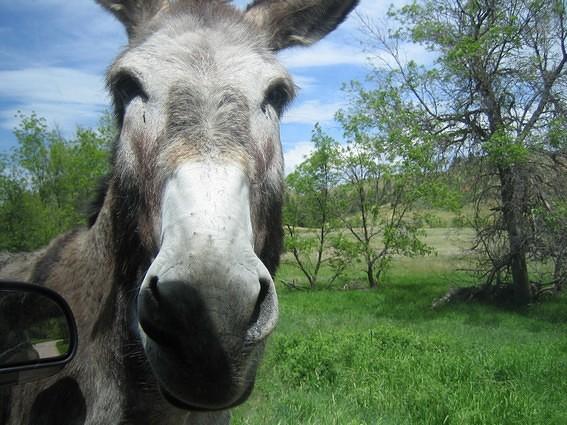 Mule deers Custer State Park