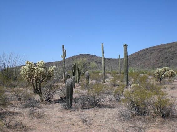 Organ Pipe Cactus NM balade botanique
