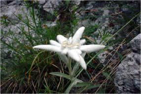 Parc national cozia edelweiss