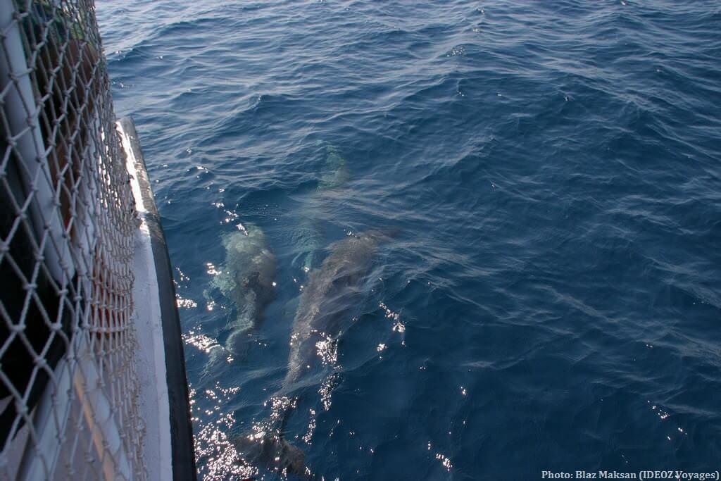 Rencontre avec les dauphins en Croatie près de Pakostane