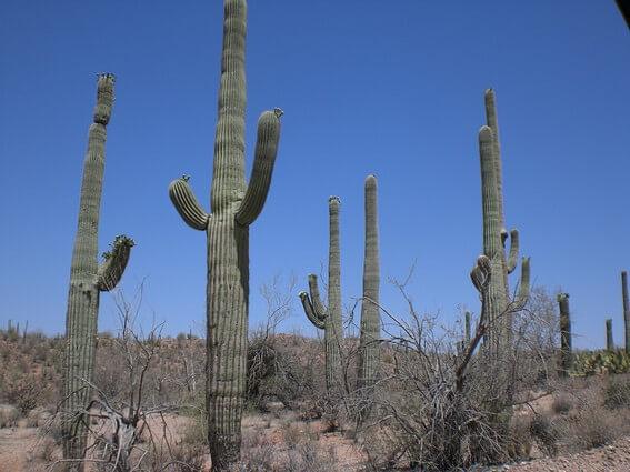 Saguaro NP West cactus