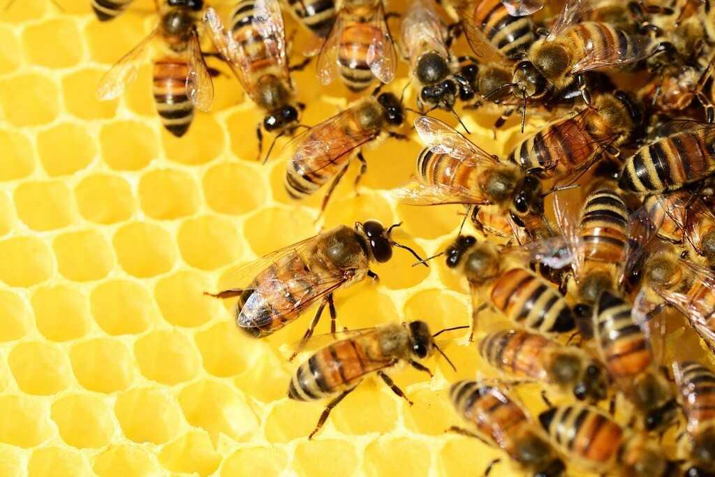 abeilles sur la cire dans la ruche