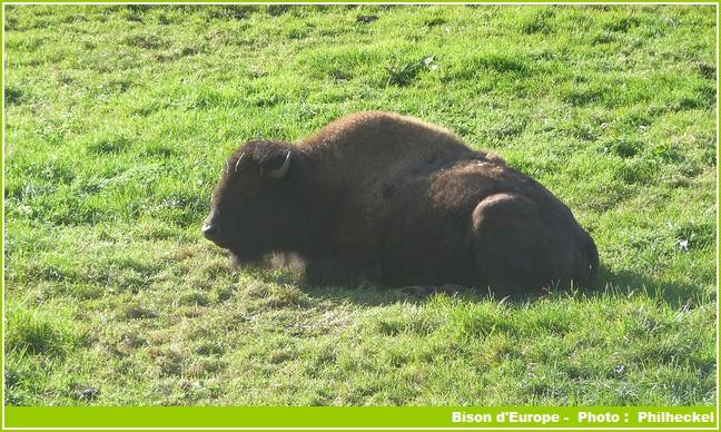 réserve de bisons d'europe en france