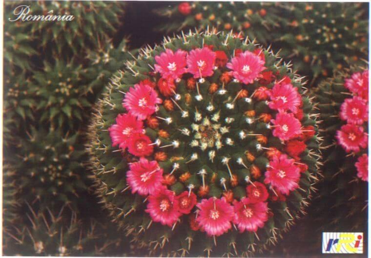 cactus mammillaria sp