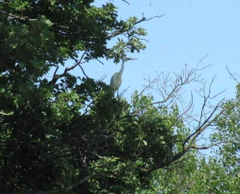 héron blanc dans le gers