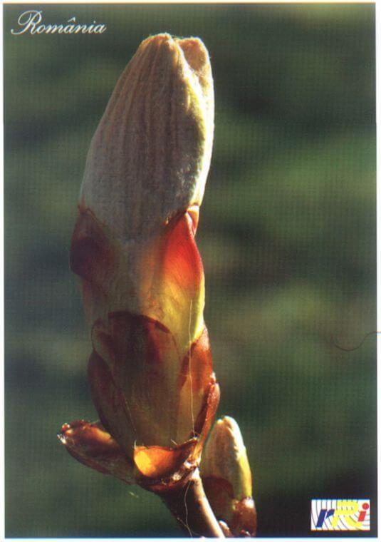 marronnier blanc