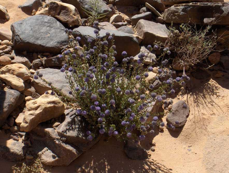 Floraison temporaire dans la vallée de l'oued Tamrit