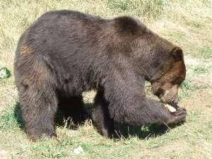 ours du parc des ours dansants en bulgarie