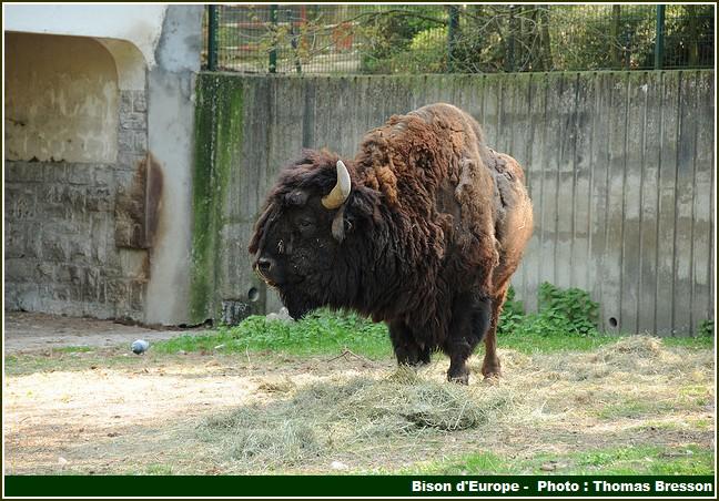 reserve bisons d'europe