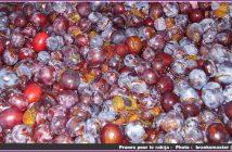 prunes pour le rakija en serbie