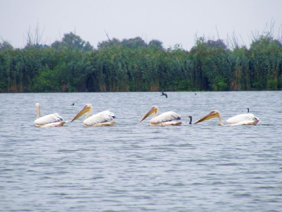 pelican commun delta du danube roumanie