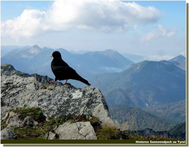 Oiseau massif des prealpes bavaroises au tyol