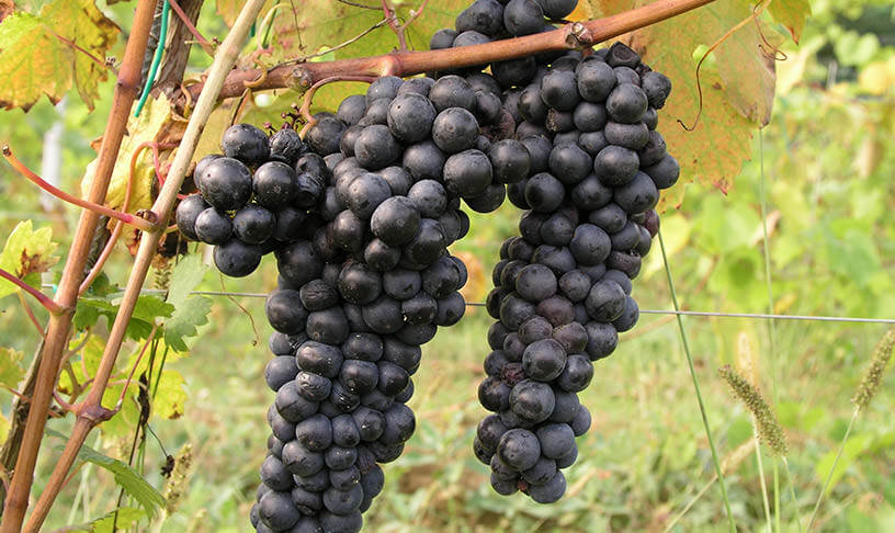 Grappe de raisin Dalmatie Grozdje