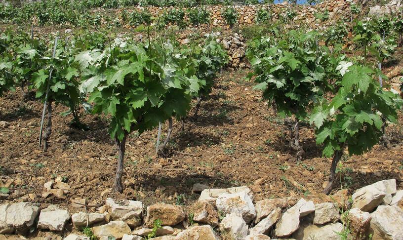 Vignes en Dalmatie Grozdje