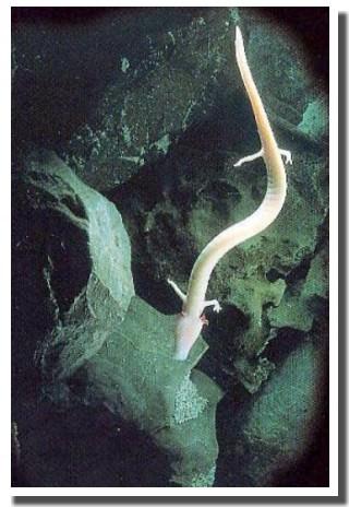 Postojna proteus espèce rare