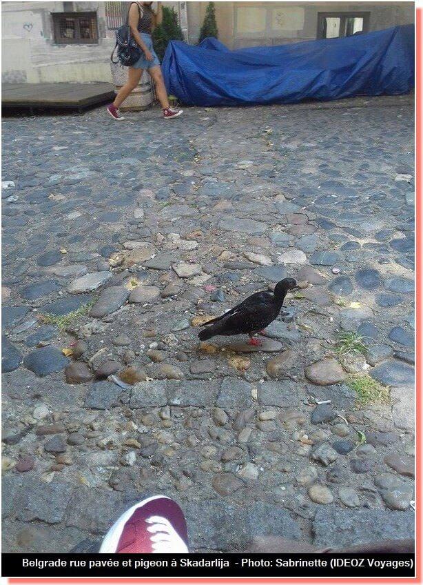 Belgrade rue Skadarlija pigeon