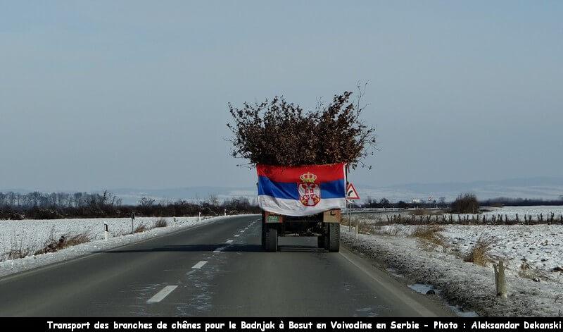 Chênes pour le badjnak badnji dan en Serbie en voivodine à Bosut