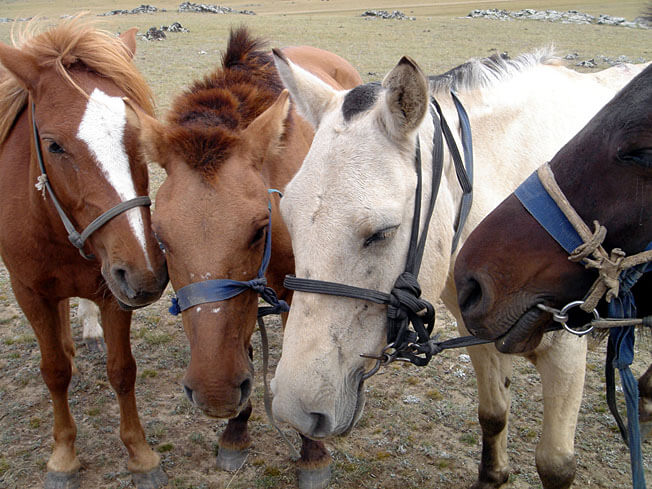 mongolie chevaux