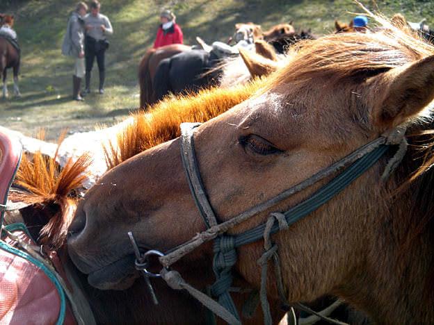 chevaux de mongolie