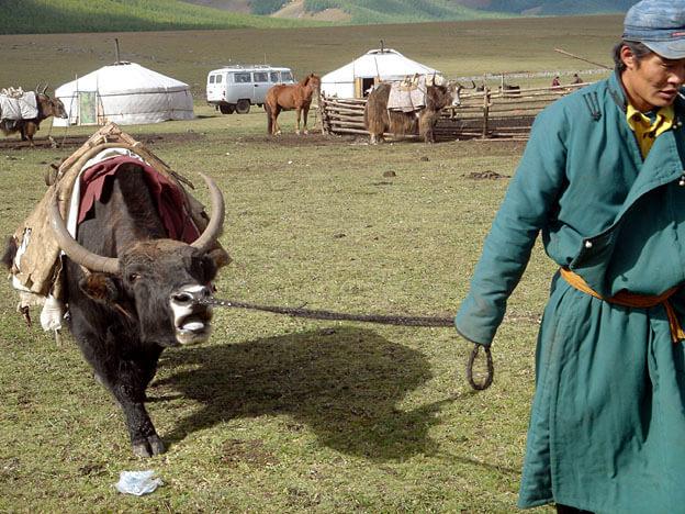 mongolie yack au camp du yack