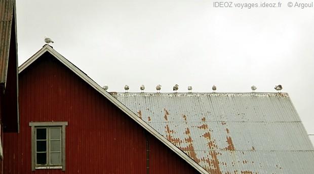 mouettes sur le toit d'un chalet dans les iles lofoten