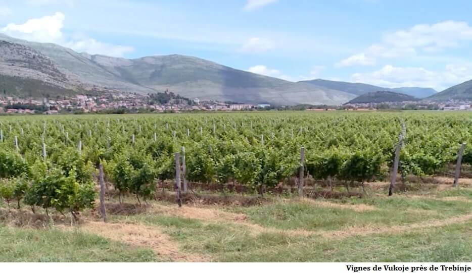 Vignoble de Vukoje aux enivrons de Trebinje en Republika srpska