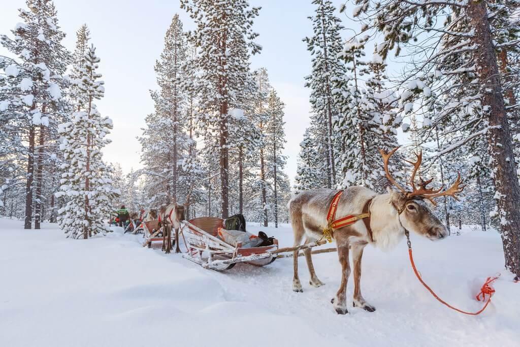 Rovaniemi traineaux et rennes en Laponie