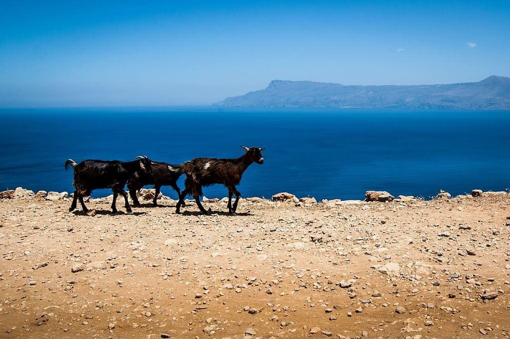 Chèvres gambadant sur les hauteurs au bord de la mer en Crète