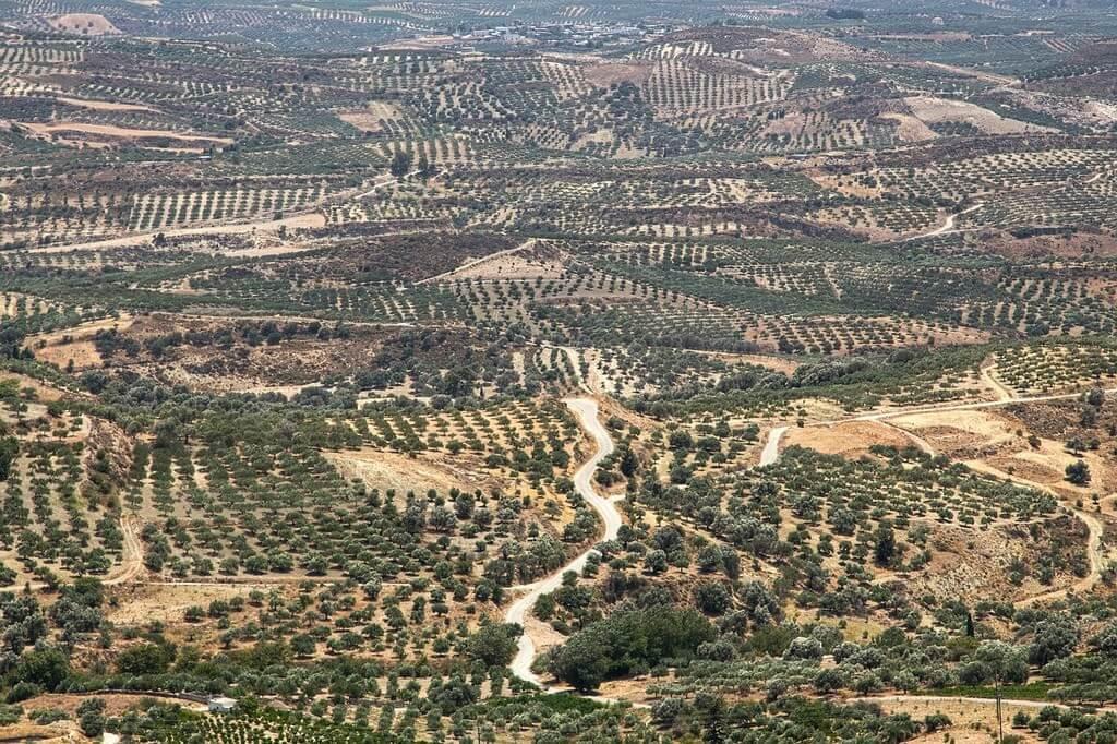 Mer d'oliviers en Crète