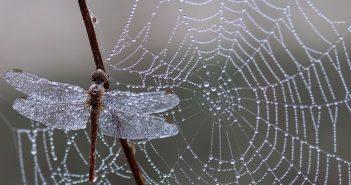 Libelulle et toile d'araignée avec la perle de rosée