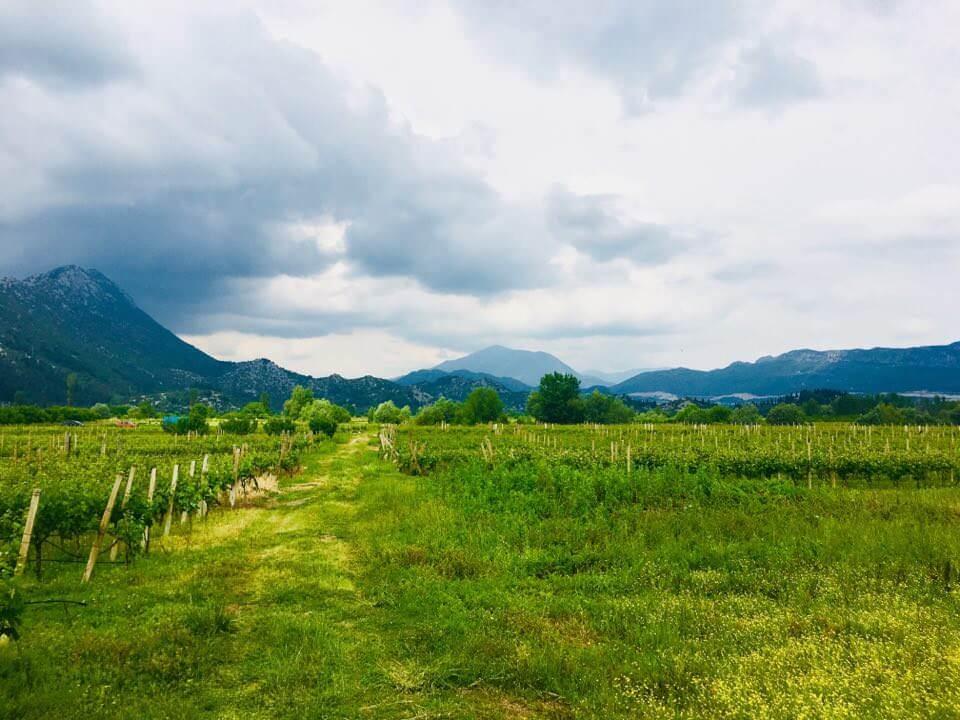 Vignes de dalmatie du sud dans la région de Stasevica