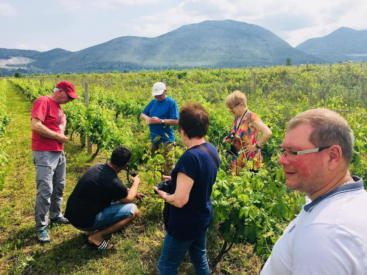 découverte des vignobles près de Stasevica en Dalmatie
