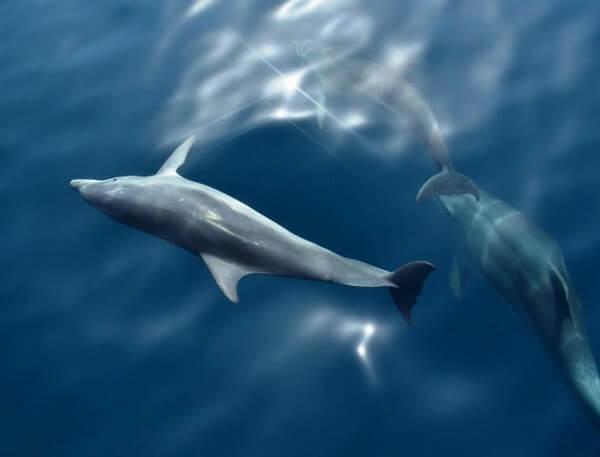 dauphins de Dalmatie du nord près de Pakostane